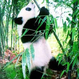 Κληρονομιά Του Κινέζικου Πολιτισμού - Χονγκ Κονγκ Πάντα «αρκούδα Του Μπαμπού» – Μειονότητες Γιαο –  Γοητεία Του Πινγιαο
