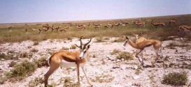 04_Springbok.jpg